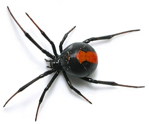 redback spider animal accident amp emergency